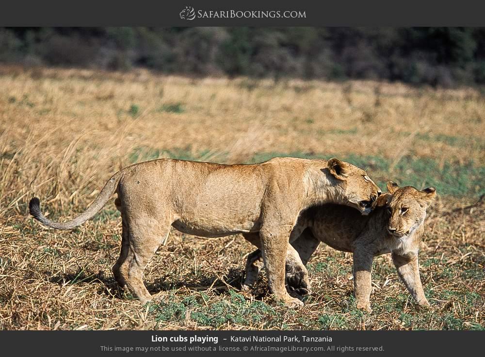 Lion cubs playing in Katavi National Park, Tanzania