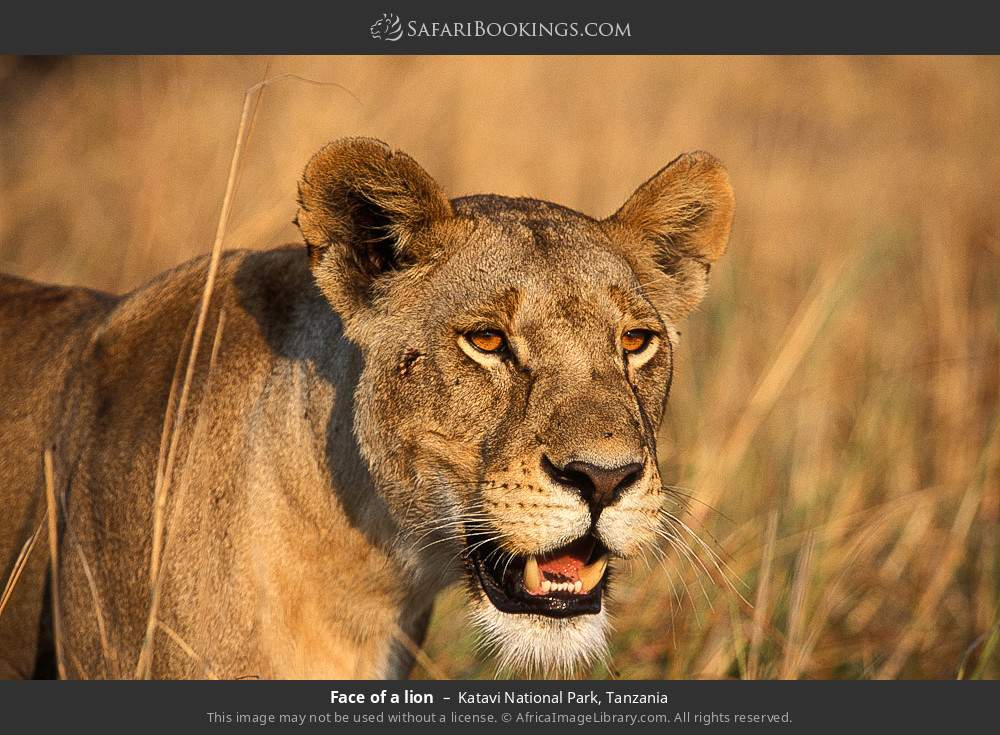 Face of a lion in Katavi National Park, Tanzania