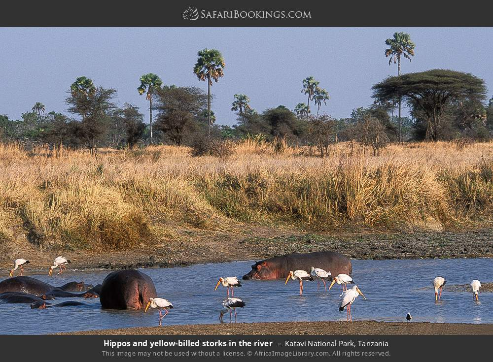 Hippos and yellow-billed storks in the river in Katavi National Park, Tanzania