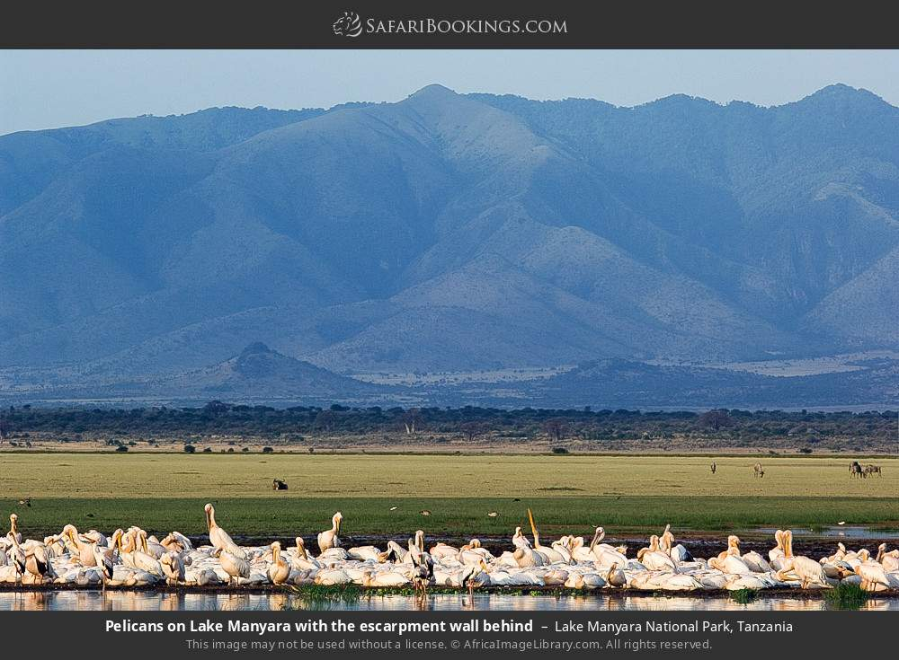 Pelicans on Lake Manyara with the escarpment wall behind in Lake Manyara National Park, Tanzania