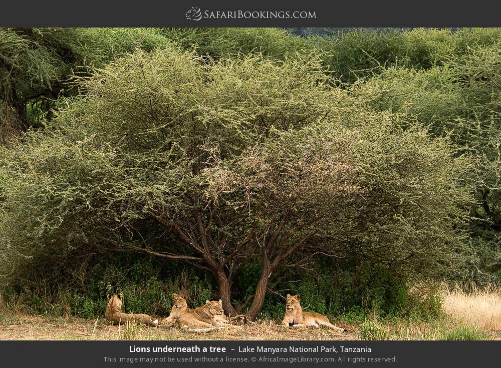 Lions underneath a tree in Lake Manyara National Park, Tanzania
