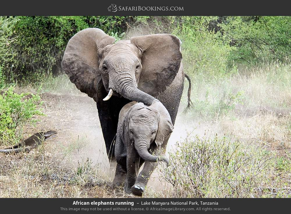 African elephants running in Lake Manyara National Park, Tanzania