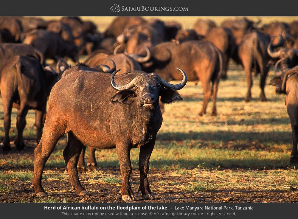 Herd of African buffalo on the floodplain of the lake in Lake Manyara National Park, Tanzania