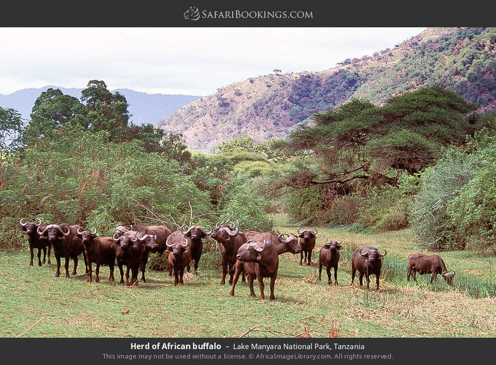 Herd of African buffalo in Lake Manyara National Park, Tanzania