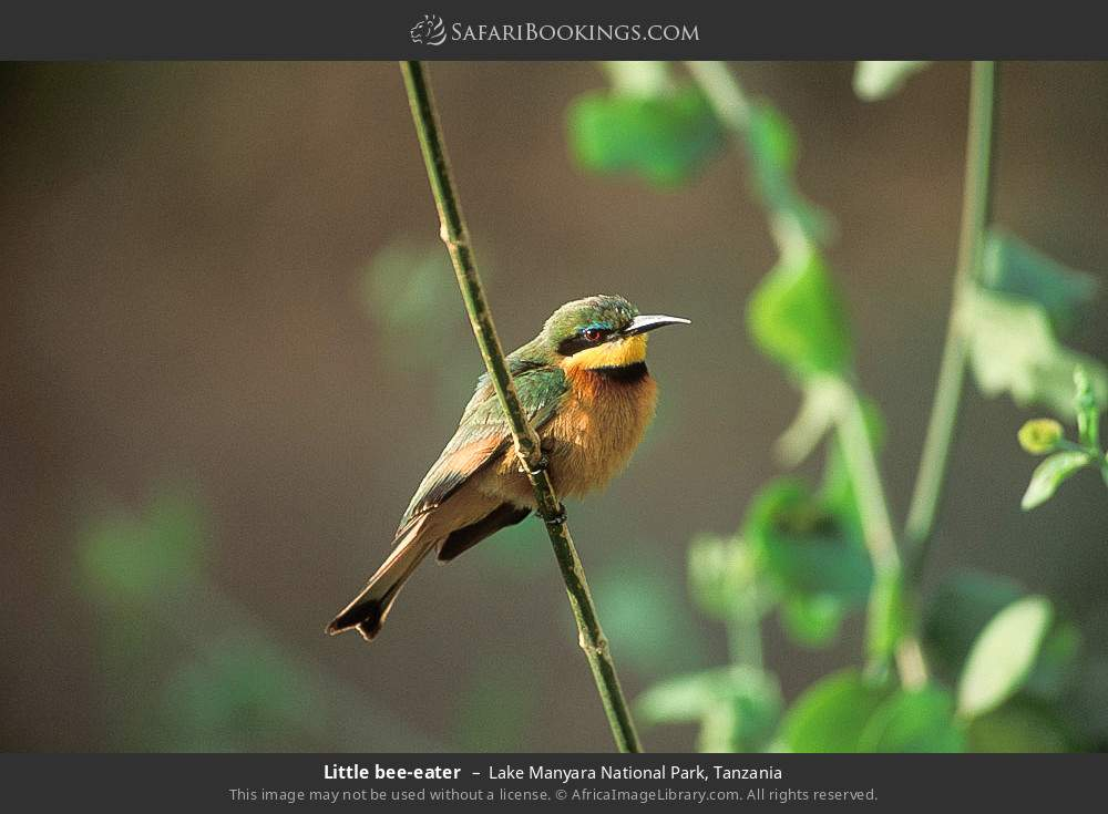 Little bee-eater in Lake Manyara National Park, Tanzania