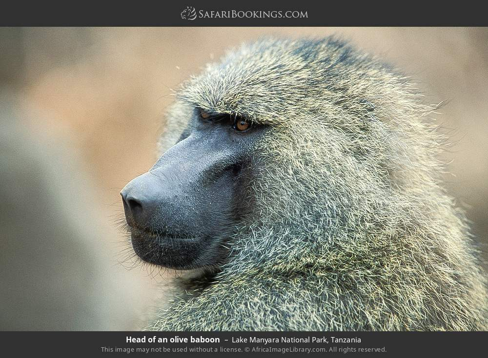 Head of an olive baboon in Lake Manyara National Park, Tanzania