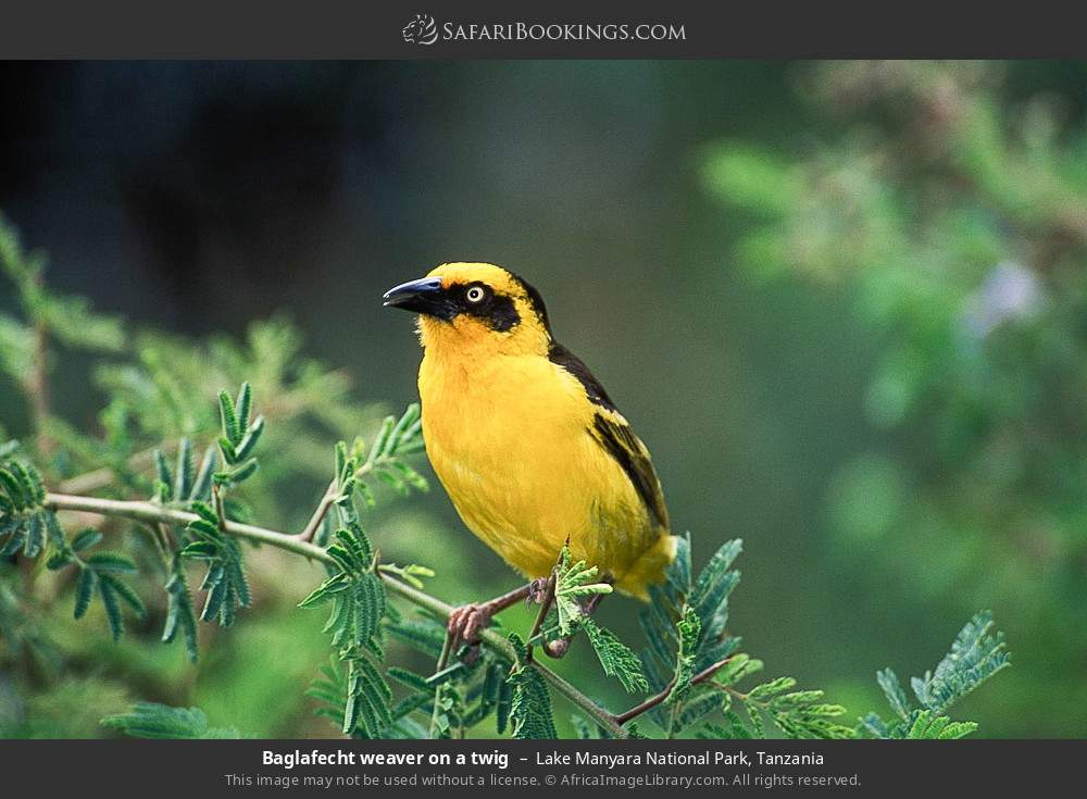 Baglafecht weaver on a twig in Lake Manyara National Park, Tanzania