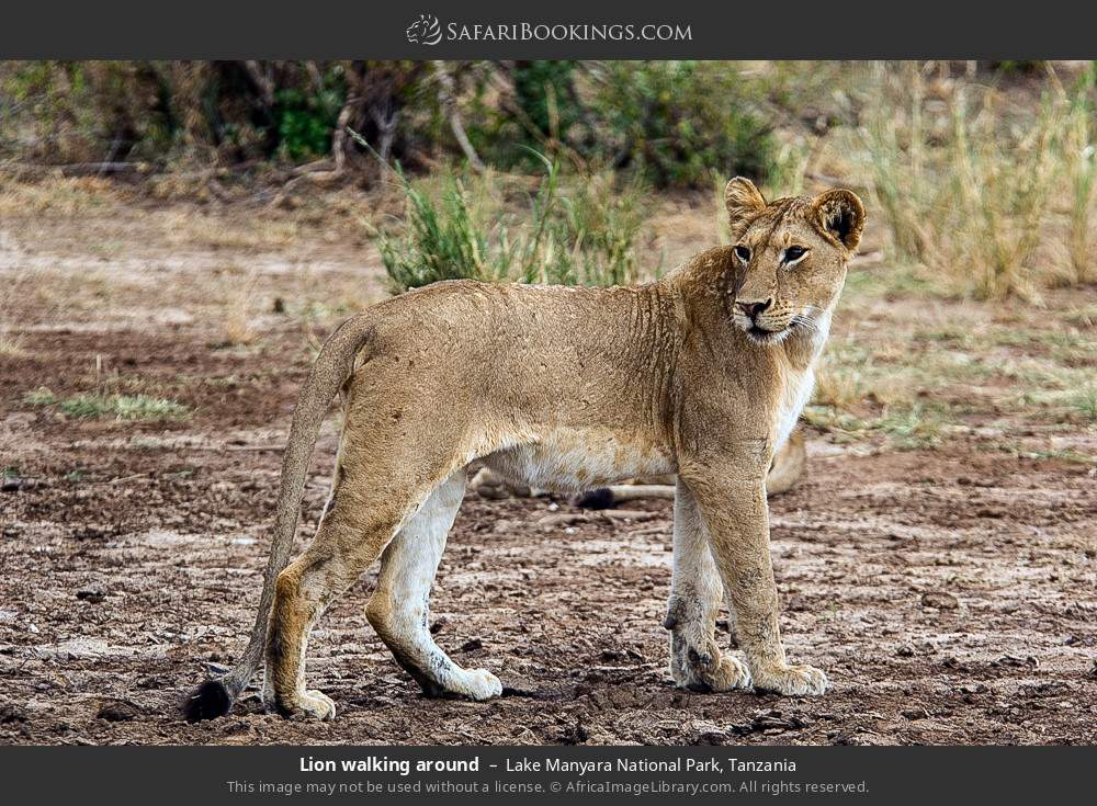 Lion walking around in Lake Manyara National Park, Tanzania