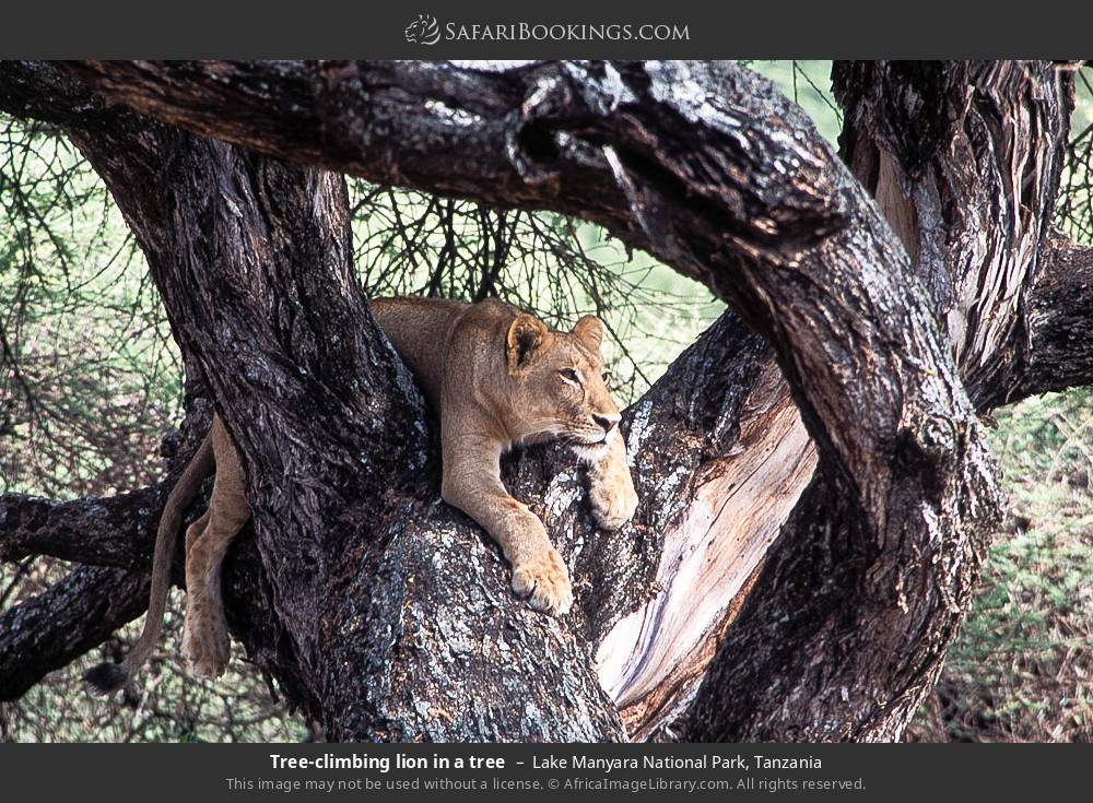 Tree-climbing lion in a tree in Lake Manyara National Park, Tanzania