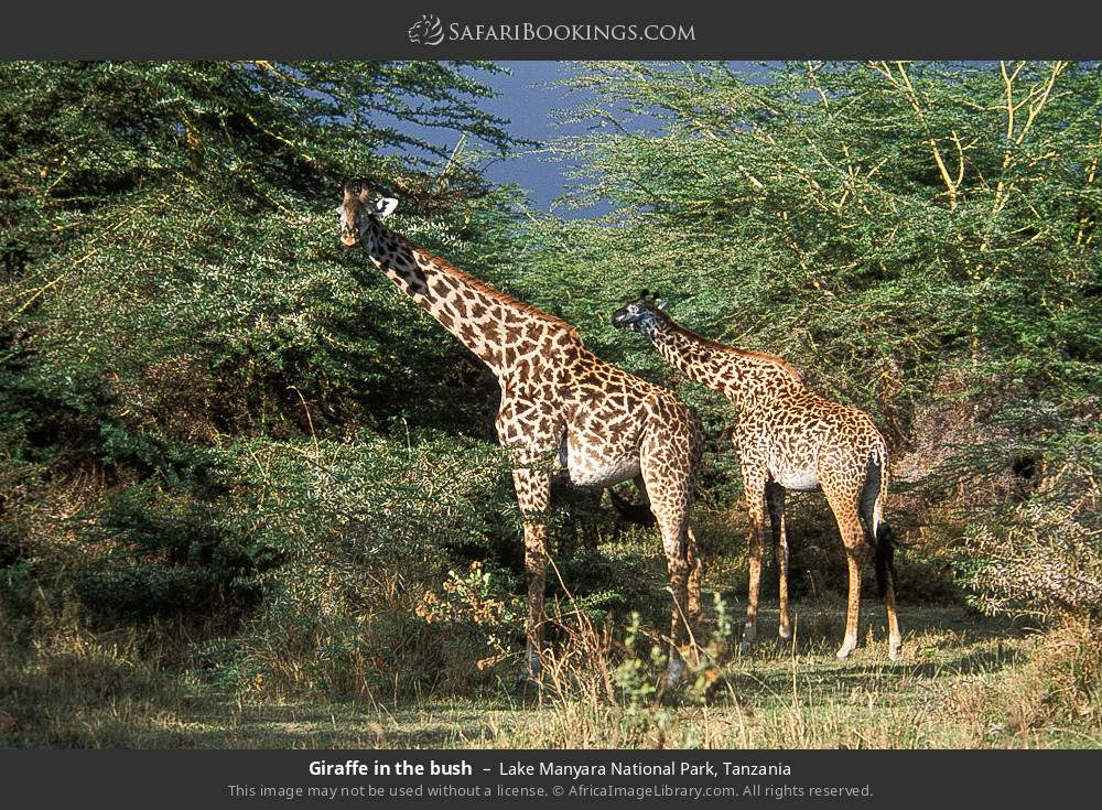 Giraffe in the bush in Lake Manyara National Park, Tanzania