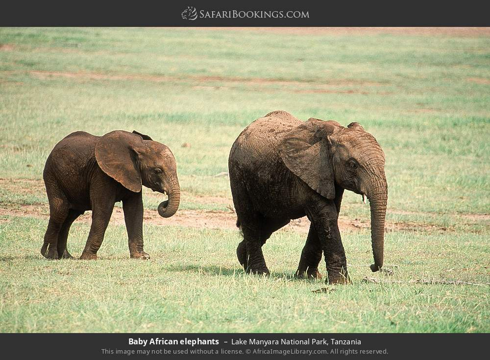 Baby African elephants in Lake Manyara National Park, Tanzania