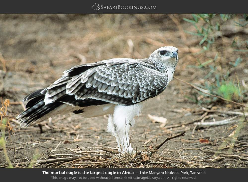 The Martial eagle is the largest eagle in Africa in Lake Manyara National Park, Tanzania