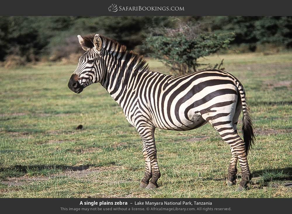 A single plains zebra in Lake Manyara National Park, Tanzania