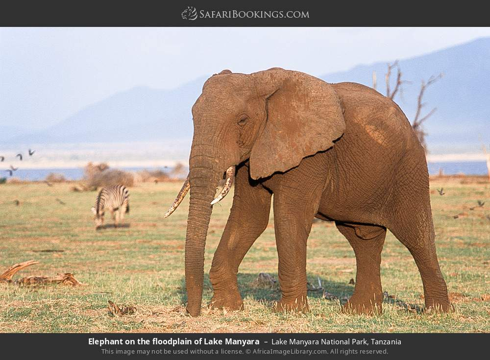 Elephant on the floodplain of Lake Manyara in Lake Manyara National Park, Tanzania
