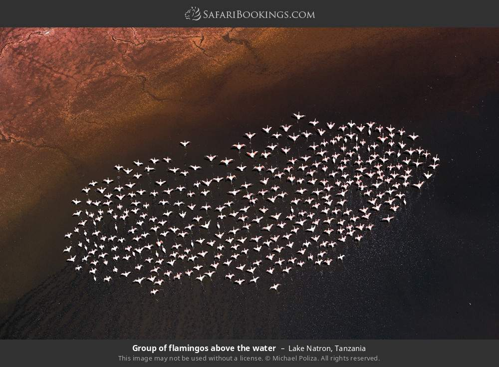 Group of flamingos above the water in Lake Natron, Tanzania