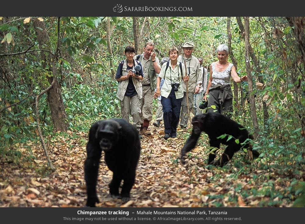 Chimpanzee tracking in Mahale Mountains National Park, Tanzania