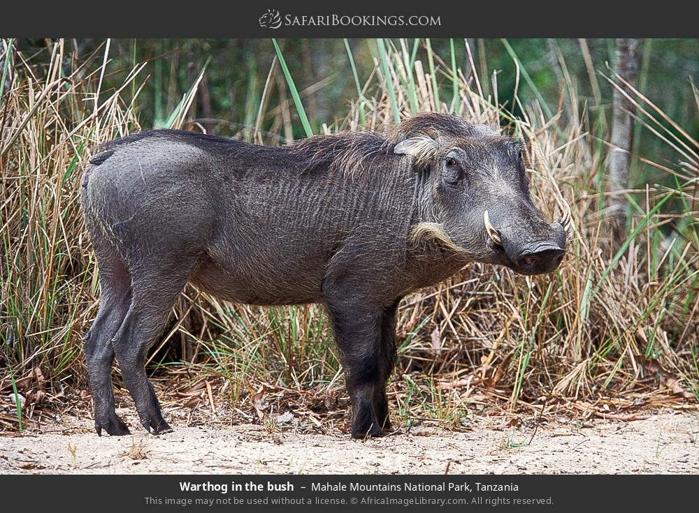 Warthog in the bush in Mahale Mountains National Park, Tanzania
