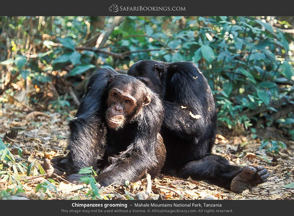 Chimpanzees grooming in Mahale Mountains National Park, Tanzania