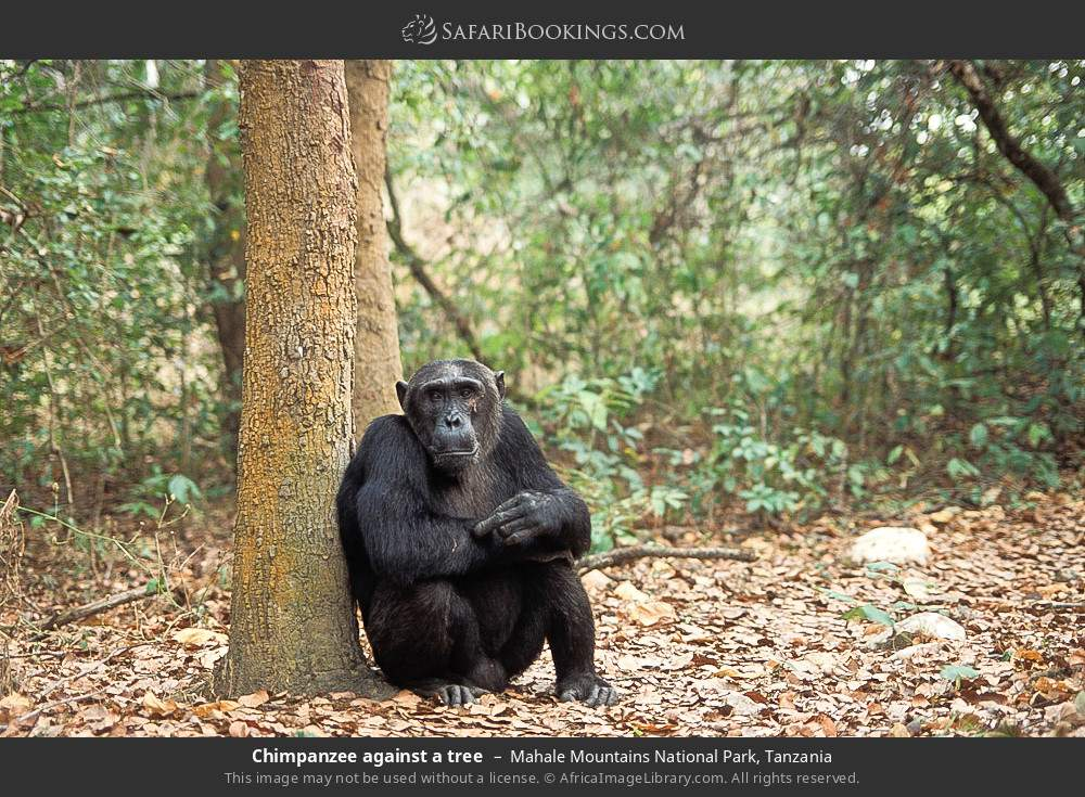 Chimpanzee against a tree in Mahale Mountains National Park, Tanzania