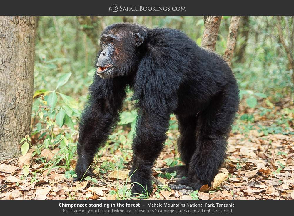Chimpanzee standing in the forest in Mahale Mountains National Park, Tanzania