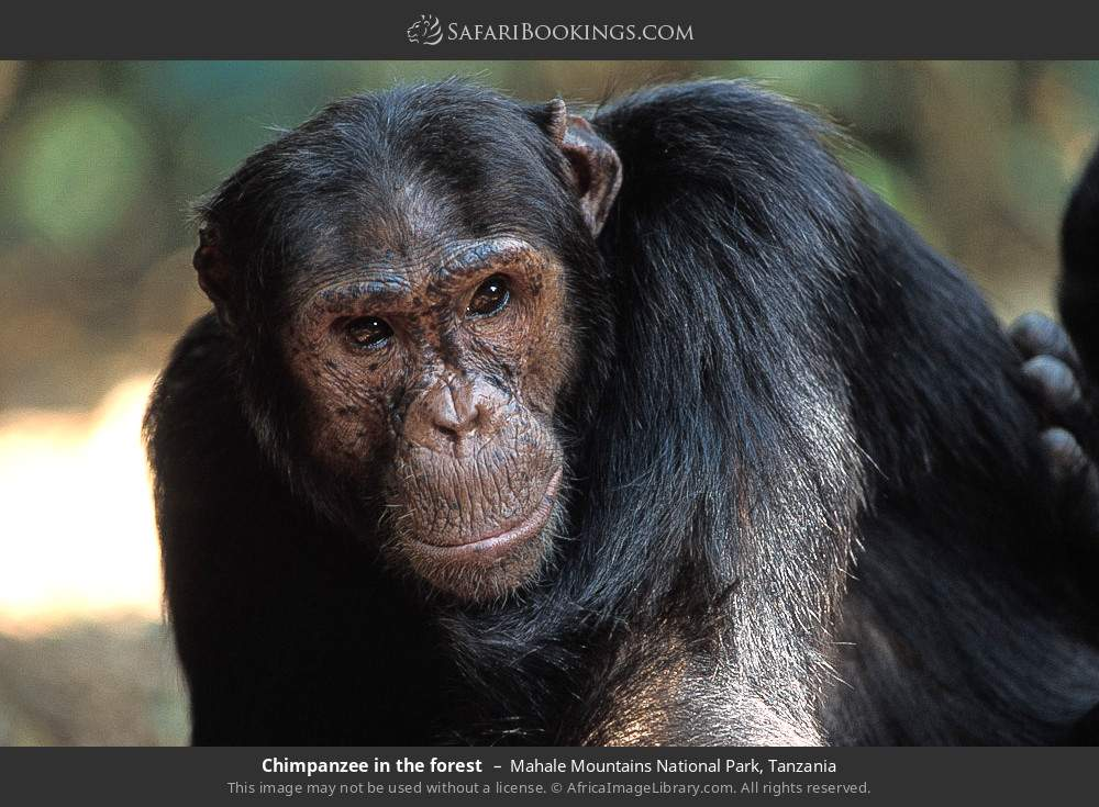 Chimpanzee  is the forest in Mahale Mountains National Park, Tanzania