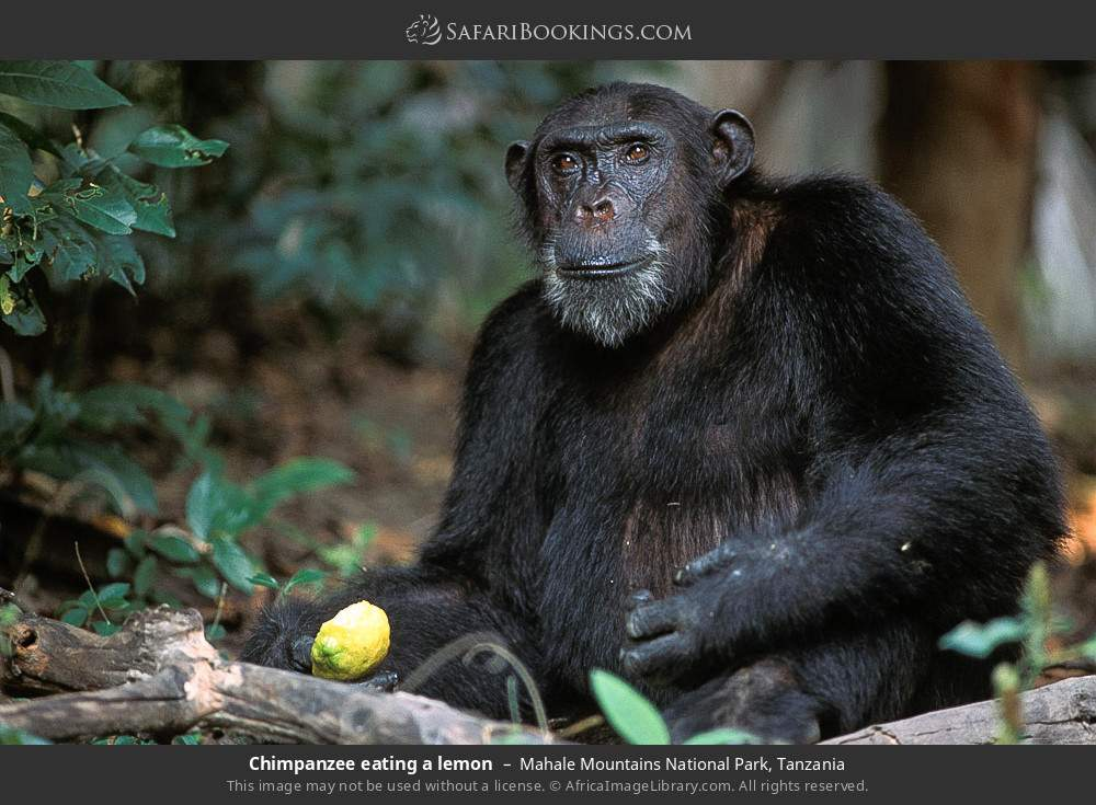 Chimpanzee eating a lemon in Mahale Mountains National Park, Tanzania