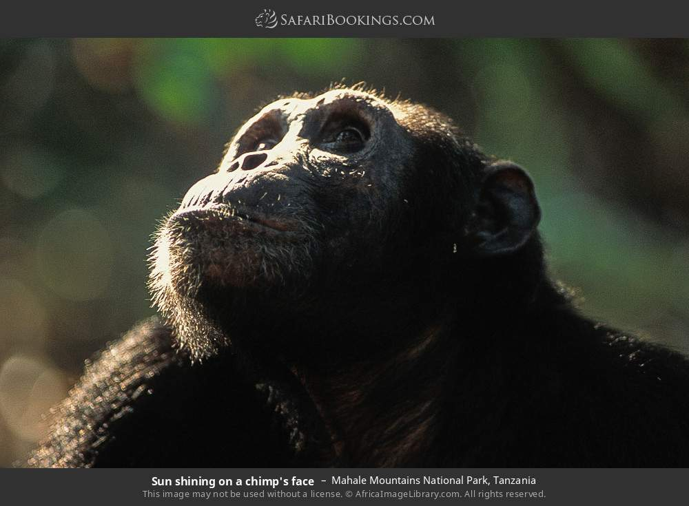 Sun shining on a chimp's face in Mahale Mountains National Park, Tanzania