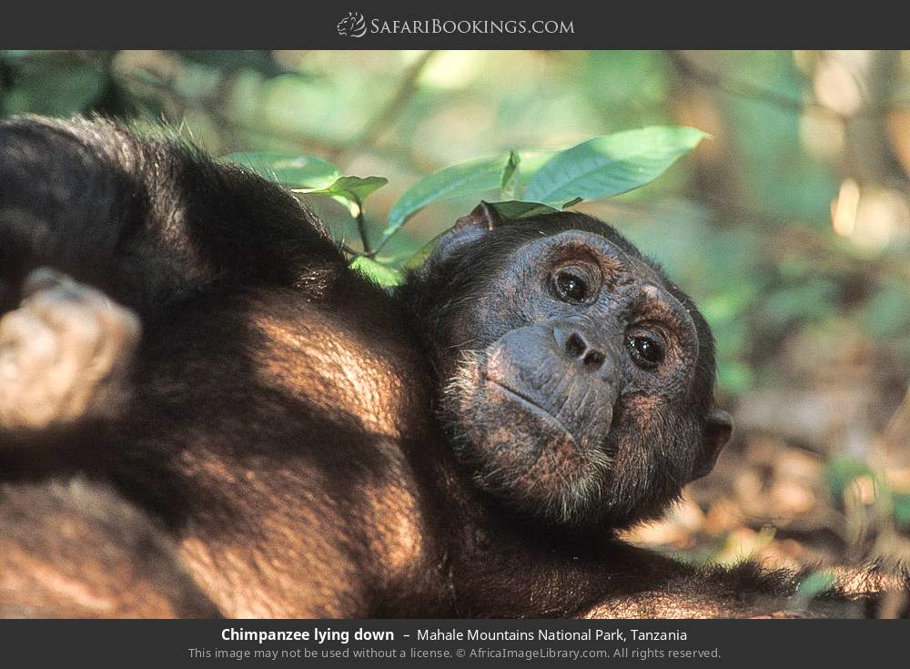 Chimpanzee laying down in Mahale Mountains National Park, Tanzania