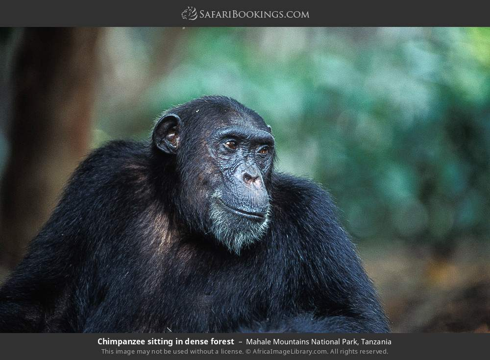 Chimpanzee sitting in dense forest in Mahale Mountains National Park, Tanzania