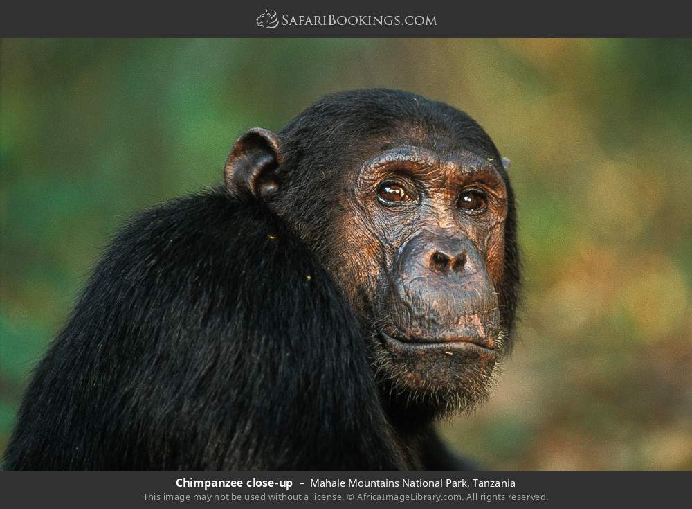 Chimpanzee close-up in Mahale Mountains National Park, Tanzania
