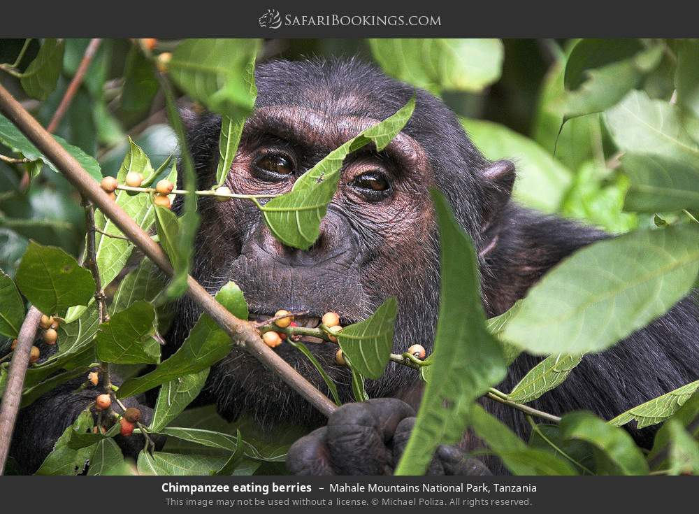 Chimpanzee eating berries in Mahale Mountains National Park, Tanzania