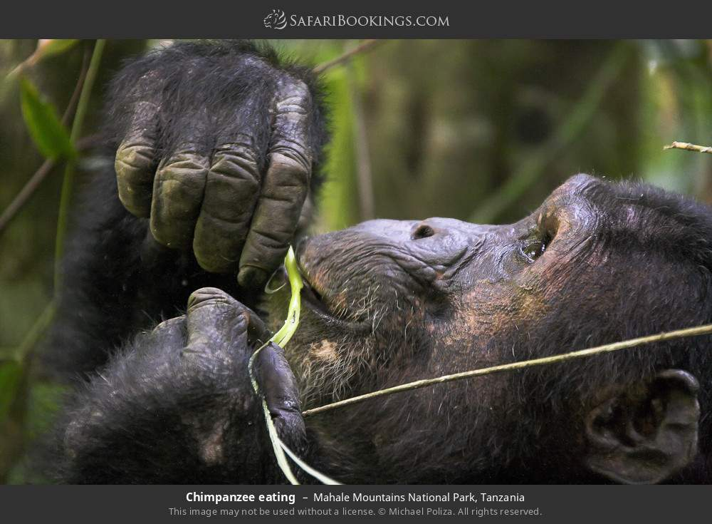 Chimpanzee eating in Mahale Mountains National Park, Tanzania