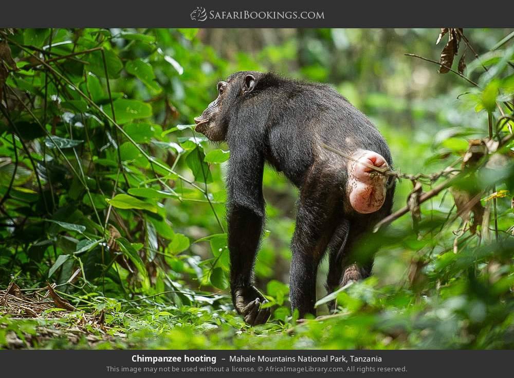 Chimpanzee hooting in Mahale Mountains National Park, Tanzania