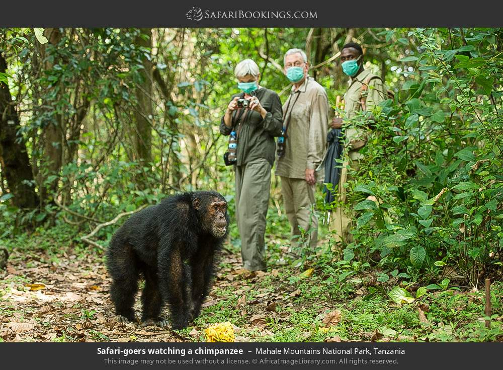 Tourists watching a chimpanzee in Mahale Mountains National Park, Tanzania