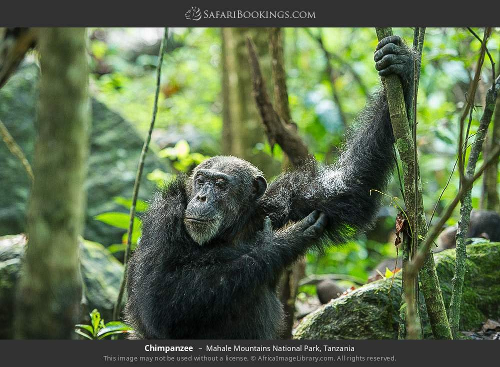 Chimpanzee in Mahale Mountains National Park, Tanzania