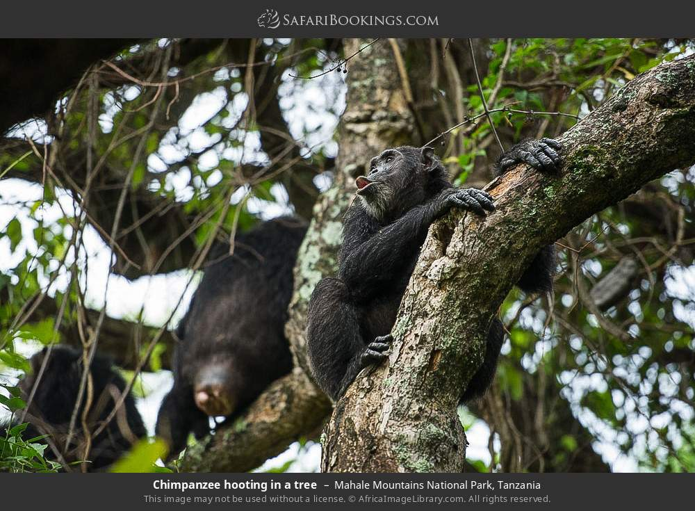 Chimpanzee hooting in a tree in Mahale Mountains National Park, Tanzania