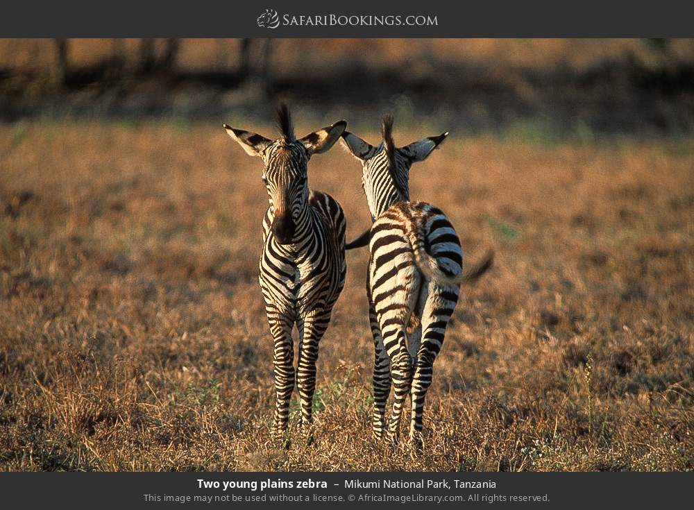 Two young plains zebra in Mikumi National Park, Tanzania