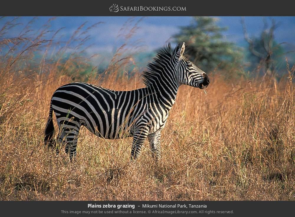 Plains zebra grazing in Mikumi National Park, Tanzania