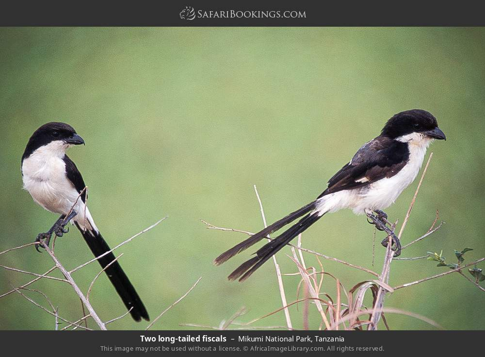 Two long-tailed fiscals in Mikumi National Park, Tanzania