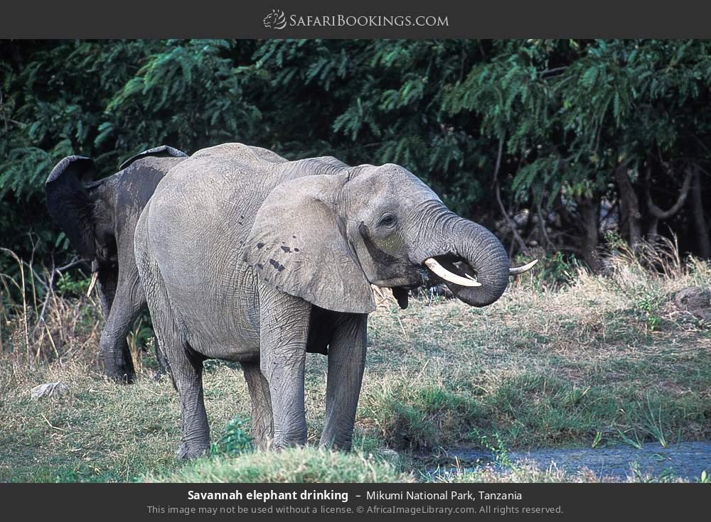 Savanna elephant drinking in Mikumi National Park, Tanzania