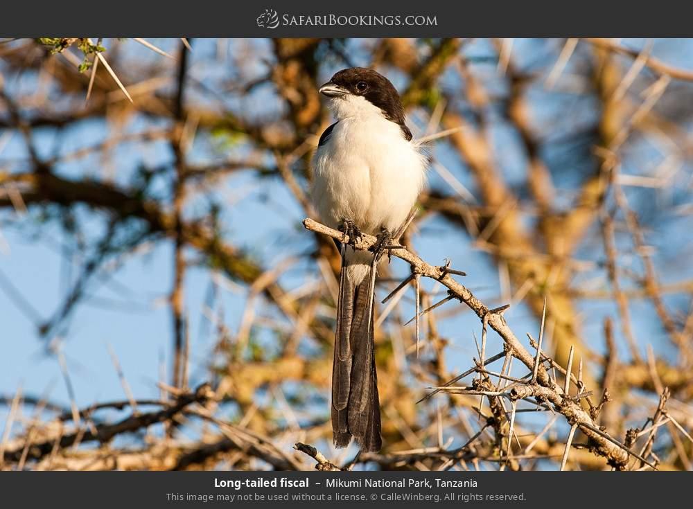 Long-tailed fiscal in Mikumi National Park, Tanzania