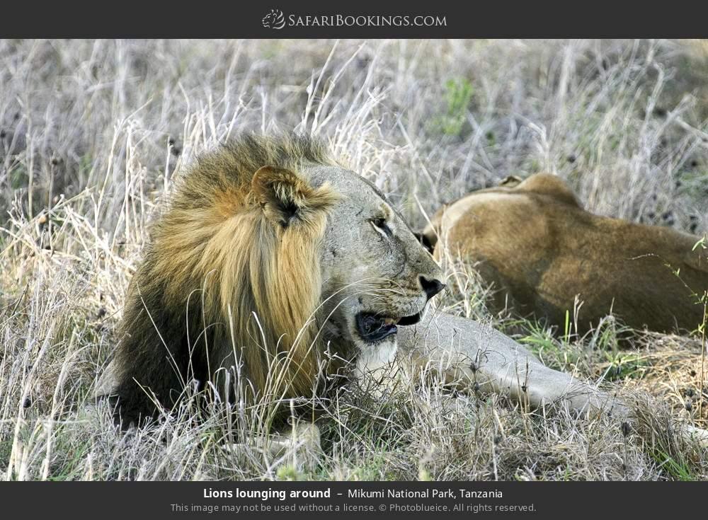 Lions lounging around in Mikumi National Park, Tanzania
