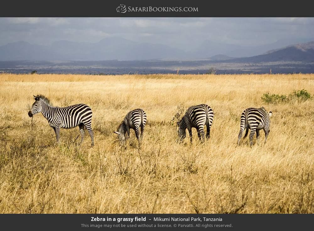 Zebra in a grassy field in Mikumi National Park, Tanzania