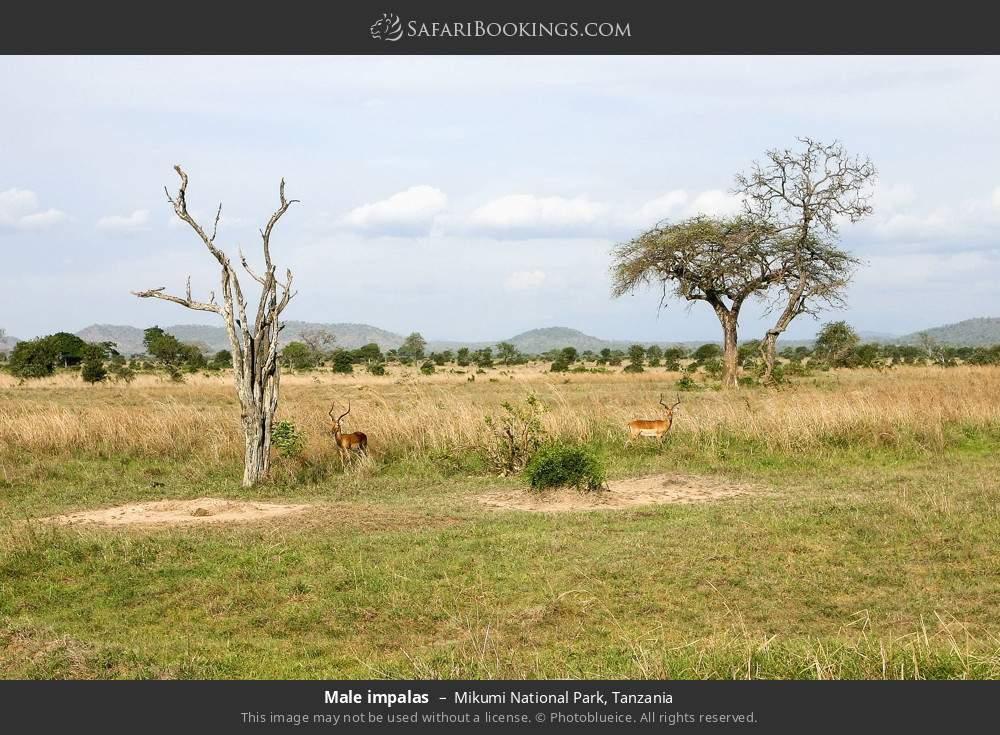 Male impalas in Mikumi National Park, Tanzania