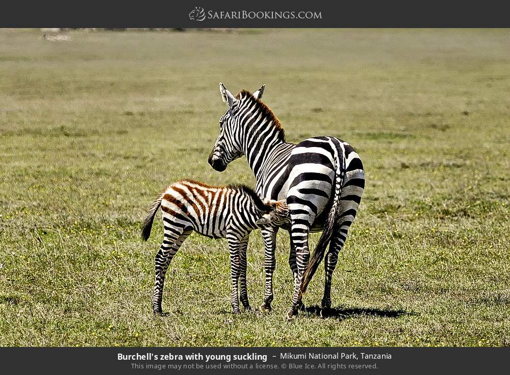 Burchell's zebra with young suckling in Mikumi National Park, Tanzania