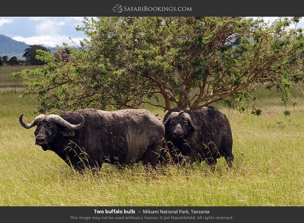 Two buffalo bulls in Mikumi National Park, Tanzania
