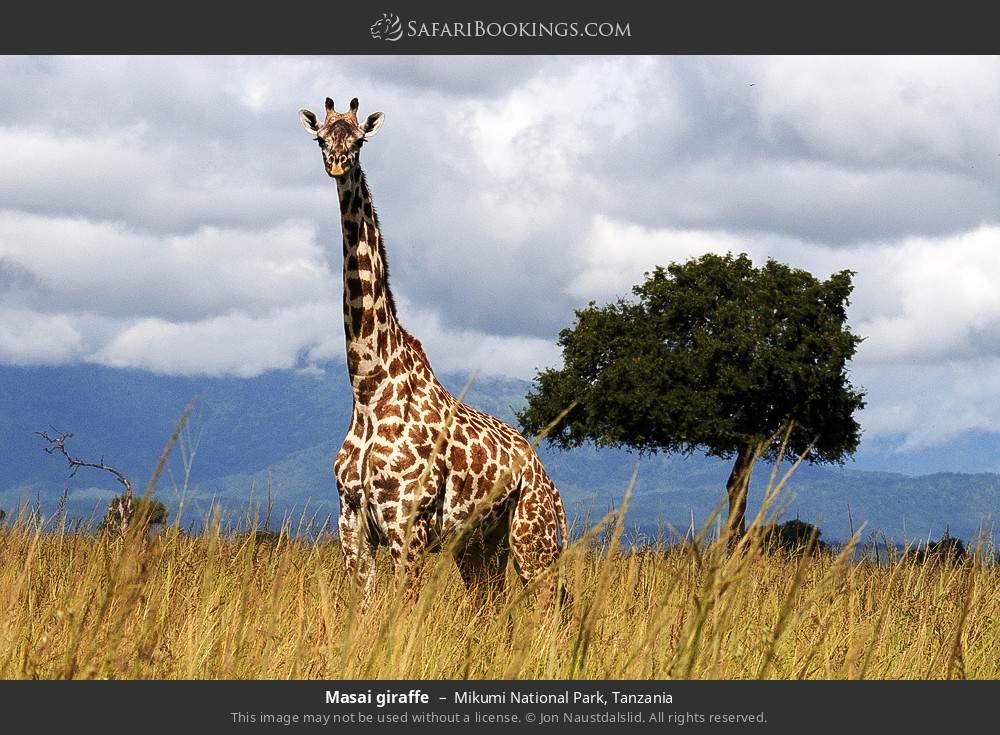 Masai giraffe in Mikumi National Park, Tanzania