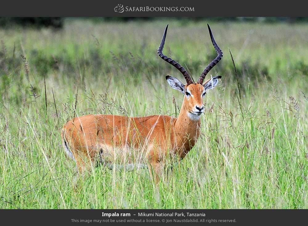 Impala ram in Mikumi National Park, Tanzania