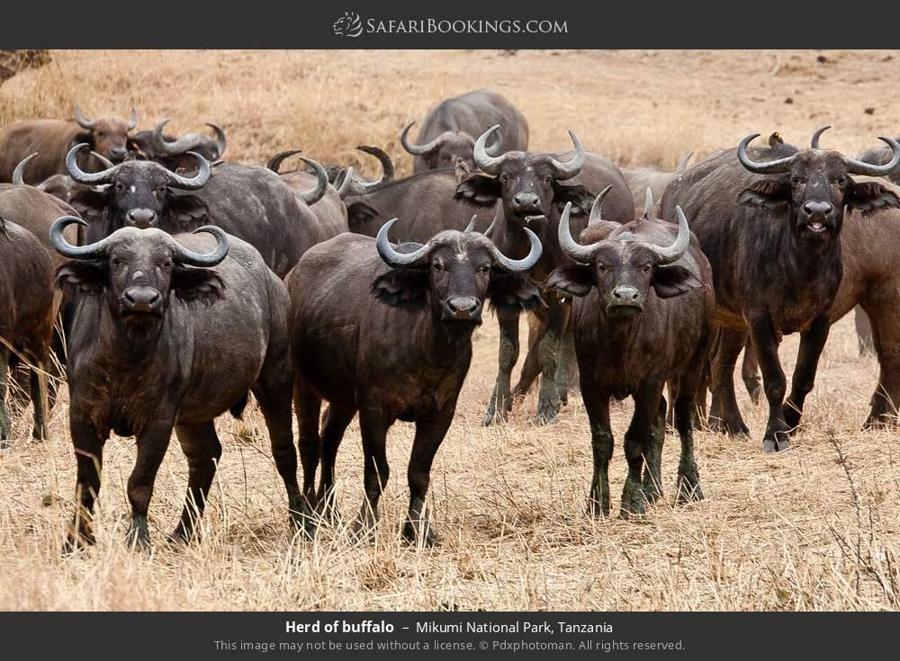 Herd of buffalo in Mikumi National Park, Tanzania