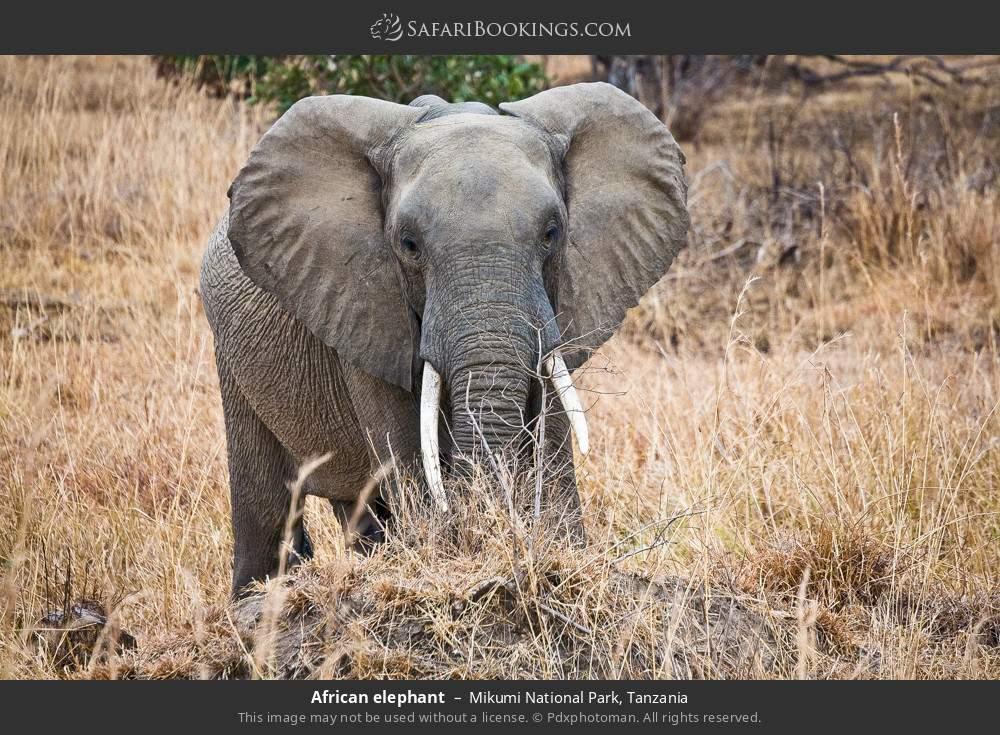 African elephant in Mikumi National Park, Tanzania